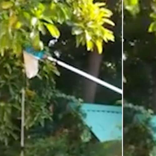 Neighbour Uses Pool Scoop To Steal Avocados