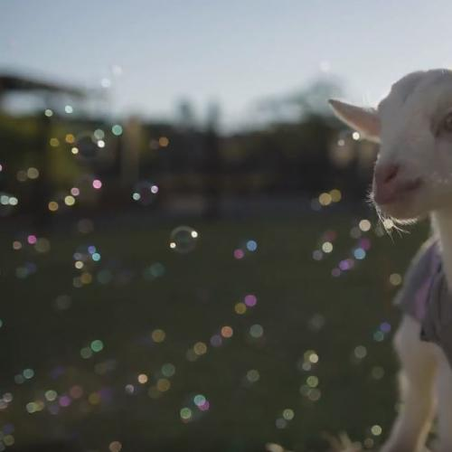 Just Watch These Baby Goats In Jumpers Playing With Bubbles