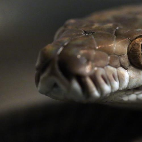 Missing Woman Found Swallowed Whole By Python In Indonesia
