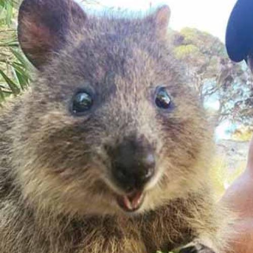 Chris Hemsworth Gets His Quokka Selfie On Rotto
