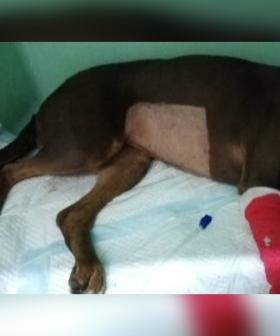 Warning To Owners After $5 Kmart Toy Leaves Dog With Serious Injuries