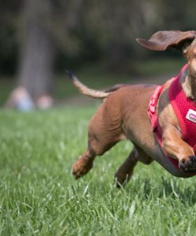 Melbourne Woman's Pet Dachshund Mauled To Death Right In Front Of Her
