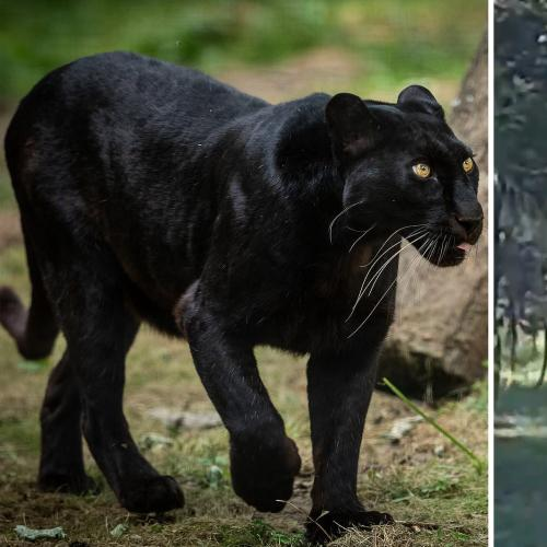 More Victorians Reveal Their Otway Panther Sightings