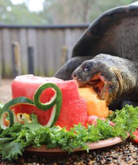 Hugo The Galapagos Tortoise Celebrates Its 69th Birthday With A Cake Smash!