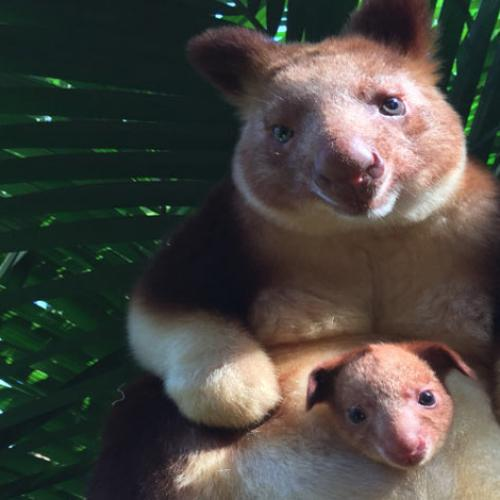 Meet The Tree Kangaroo Who Finally Appeared From Mum's Pouch