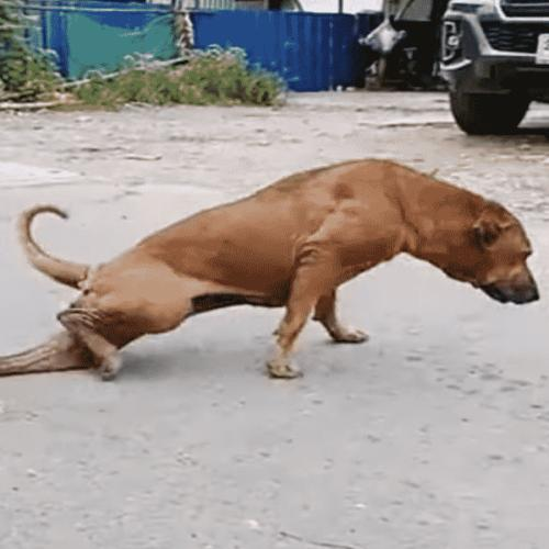 Cheeky Dog Fakes Having A Broken Leg To Get Attention And Snacks