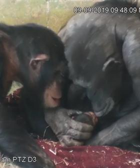 Chimpanzee Mum So In Love With Her Newborn At Monarto Zoo
