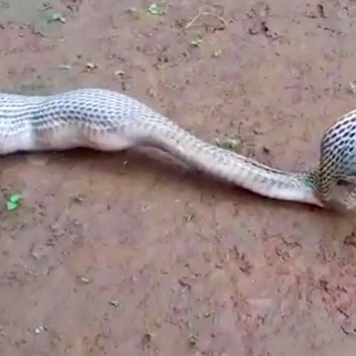 Seeing This Snake Hurling Up Eggs Will Make You Feel Sick