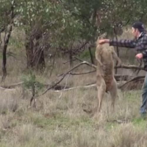 'Kangaroo Punch' Captured In Graffiti, Icon Status Confirmed