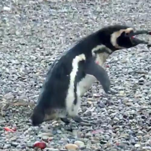 Penguin Flips Out After Finding His Wife With A Homewrecker