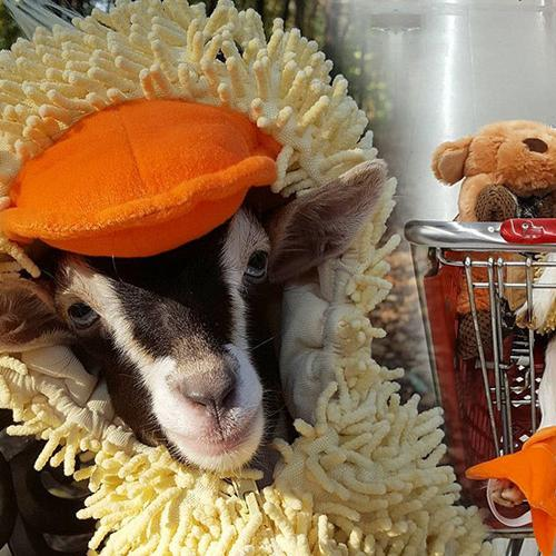 The Reason Why This Goat Is Wearing A Duck Costume