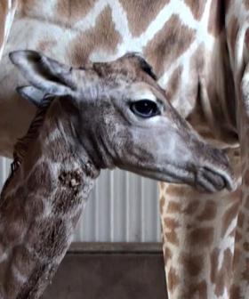The Internet Is Obsessed With Perth Zoo's New Baby Giraffe