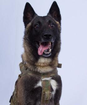 Praise For Heroic Army Dog Injured In Baghdadi Raid That Killed ISIS Leader