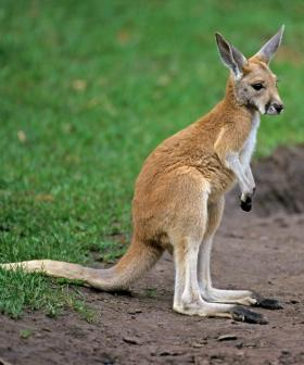 Kangaroo Dies After Being Punched By Australian Man