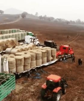 Saving Cows On The Burnt Land