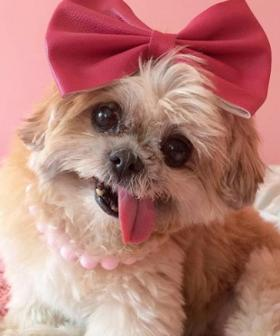 Marnie The Instagram Famous Shih Tzu Pup Has Passed Away Aged 18