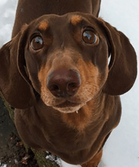 """This Sausage Dog Sprained His Tail From """"Excessive Wagging"""" Because His Family Are Working From Home"""