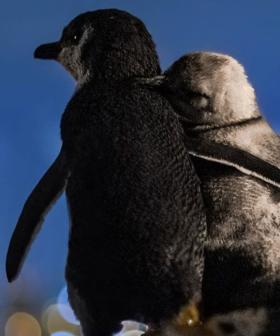 This Photo Of Two Widowed Penguins Consoling Each Other While Enjoying The Melbourne Skyline Is Too Much