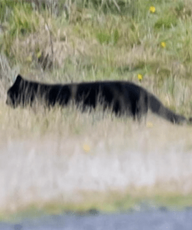 Photographer Spots Big Cat In Victoria Ranges With Locals Convinced It's The Otways Panther