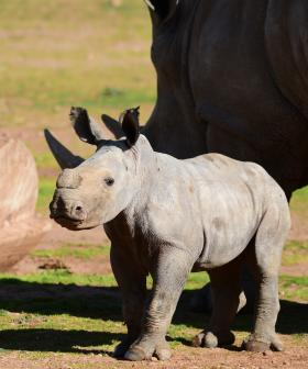 You Have To See This Video Of This Aussie Zoos New Baby Rhino Doing Zoomies With Her Mum