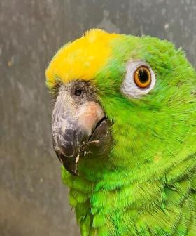 This Parrot Singing Beyonce Songs Flawlessly Will Brighten Your 2020