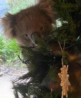 Woman Finds Koala Making Itself At Home In Christmas Tree