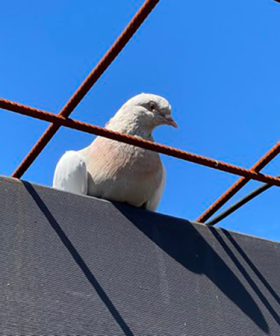 """Australian Government """"Exploring Options"""" To Save Joe The Pigeon From Execution"""