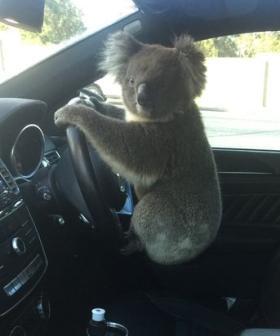 Daring Koala Causes Six-Car Pile Up On Aussie Freeway
