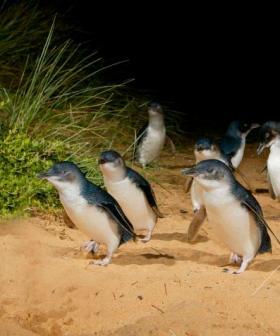 Victorians Urged To Help Young Penguins Suffering In Wild Weather